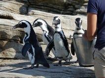 Afrykańscy pingwiny 28 Zdjęcie Stock