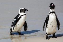 Afrykańscy pingwiny przy Dennym brzeg Obraz Stock