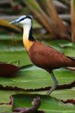 afrykańska jacana leluj woda Obraz Royalty Free