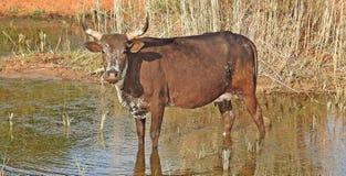 afrykańska krowa fotografia royalty free