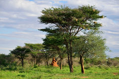 Afrykańska krzak sawanna, Namibia Obrazy Stock