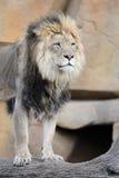 afrykańska lwa beli pozycja Fotografia Royalty Free