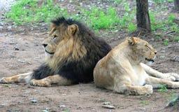 Afrykańska lwa i afrykanina lwica Obrazy Stock
