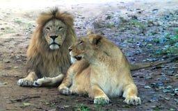 Afrykańska lwa i afrykanina lwica Zdjęcia Royalty Free