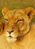 afrykańska lwica Fotografia Stock