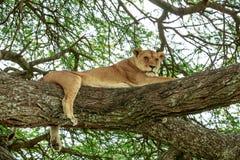 Afrykańska lwica odpoczywa na akacjowym drzewie Obraz Stock