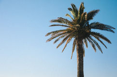 Afrykańska palma Zdjęcie Stock