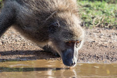 Afrykańska pawian woda pitna Obrazy Stock