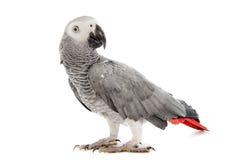 Afrykańska Popielata papuga Zdjęcia Stock