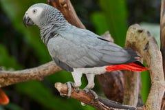Afrykańska Popielata papuga lub Popielata papuga (Psittacus erithacus) Zdjęcie Stock