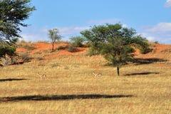 Afrykańska przyroda, Kalahari pustynia, Namibia Obrazy Royalty Free