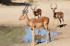 Afrykańska przyroda potomstwo baranu wiec - Impala - Zdjęcia Royalty Free
