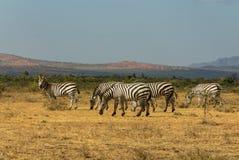 Afrykańska przyroda, zebry stado w sawannie Obrazy Royalty Free
