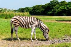 Afrykańska równiny zebra na zielonych sawanna obszarach trawiastych Fotografia Royalty Free