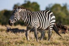 Afrykańska równiny zebra wyszukuje i pasa na suchych brown sawanna obszarach trawiastych Fotografia Stock