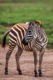 Afrykańska równiny zebra wyszukuje i pasa na suchych brown sawanna obszarach trawiastych Obrazy Stock