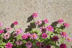 Afrykańska stokrotka, menchia kwiaty Fotografia Stock
