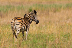 afrykańska zebra Obraz Stock