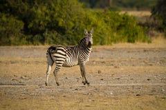 Afrykańska zebra Fotografia Stock