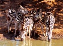 Afrykańska zebra przy waterhole Zdjęcie Royalty Free