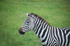 Afrykańska zebra w Serengeti obszarach trawiastych Afryka Obrazy Royalty Free
