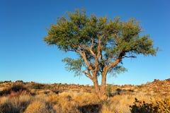 Afrykański Akacjowy drzewo Obrazy Stock