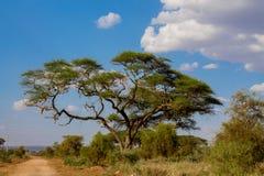 Afrykański akacjowy parasolowy drzewo w sawanna krzaku, Afryka Zdjęcie Royalty Free