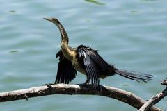 afrykański anhinga darter rufa Zdjęcie Stock