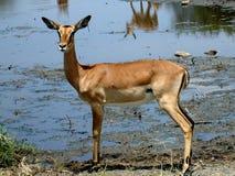 afrykański antilope Obraz Royalty Free