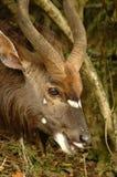 afrykański antylopy Zdjęcie Royalty Free