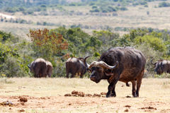 Afrykański Bawoli odprowadzenie w kierunku tamy Fotografia Stock