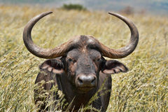afrykański bizon Obrazy Royalty Free