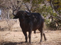 Afrykański bizon Fotografia Stock