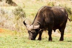 Afrykański bizon pokojowo je jego trawy Obraz Stock