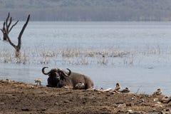 Afrykański bizon przy Jeziornym brzeg fotografia stock