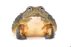 Afrykański bullfrog, Pyxicephalus adspersus Obraz Royalty Free
