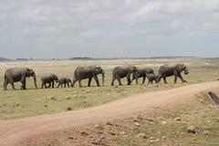 Afrykański byk Elelphant Zdjęcia Stock