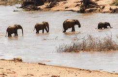 Afrykański byk Elelphant Zdjęcia Royalty Free