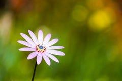 afrykański daisy Fotografia Stock