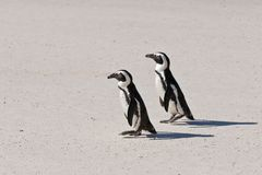 afrykański demersus pingwinu spheniscus Zdjęcia Stock