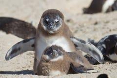 afrykański demersus pingwinu spheniscus Fotografia Royalty Free