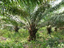 Afrykański drewno, palma Obraz Stock