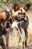 Afrykański Dziki pies Obrazy Royalty Free