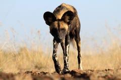 Afrykański Dziki pies Obraz Royalty Free