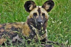 Afrykański Dziki pies Fotografia Stock