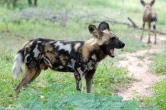 Afrykański dziki pies, Lycaon pictus Zdjęcie Royalty Free
