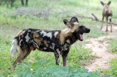 Afrykański dziki pies, Lycaon pictus Fotografia Stock