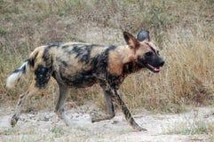 Afrykański dziki pies, Lycaon pictus Obraz Royalty Free