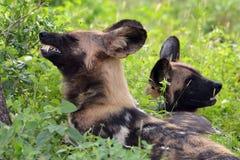 Afrykański dziki pies, Lycaon pictus Obrazy Royalty Free