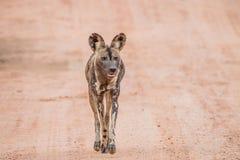 Afrykański dzikiego psa odprowadzenie w kierunku kamery Zdjęcia Stock